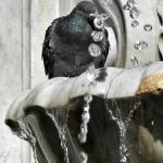 Canaries Pigeon