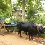Bullock Cart in Sri Lanka